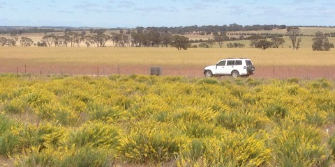 Grazing Lebeckia on Sandy Soils