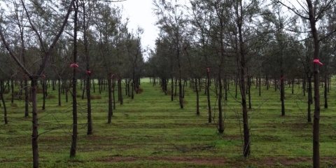 Tree crops on saline land – Casuarina obesa with nitrogen fixing Frankia