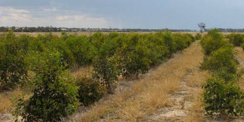 Biodiverse Agroforestry – increasing biodiversity values with oil mallees