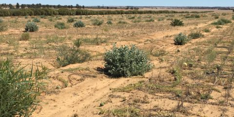 Maximising forage potential within a sandalwood plantation